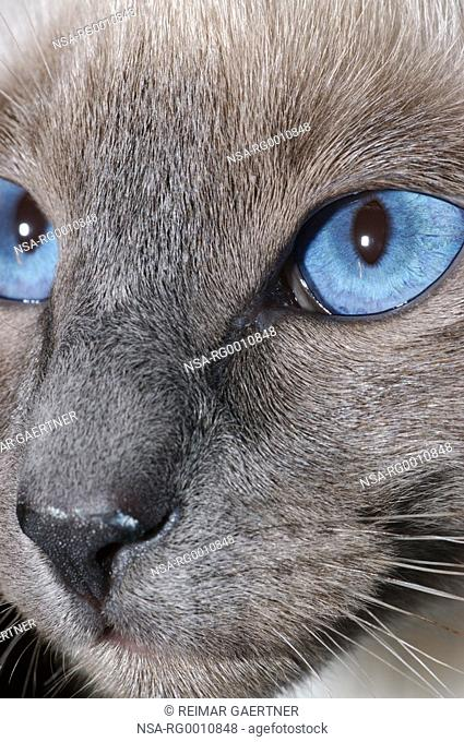 Close up of Siamese Blue Point face portrait