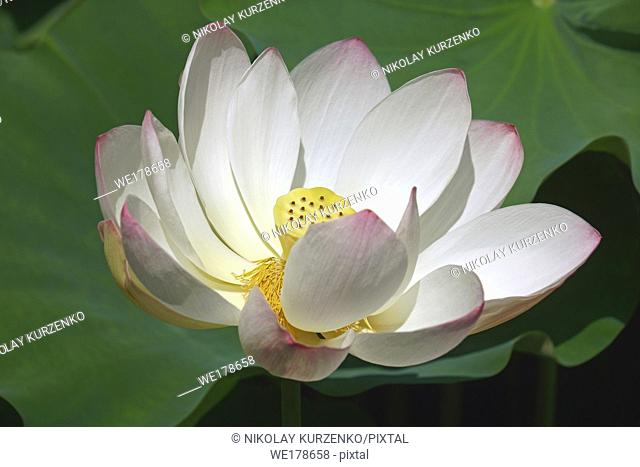 Sacred lotus (Nelumbo nucifera). Known also as Indian Lotus, Bean of India and Lotus