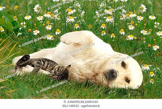 animal friendship : Golden Retriever and kitten - lying on meadow