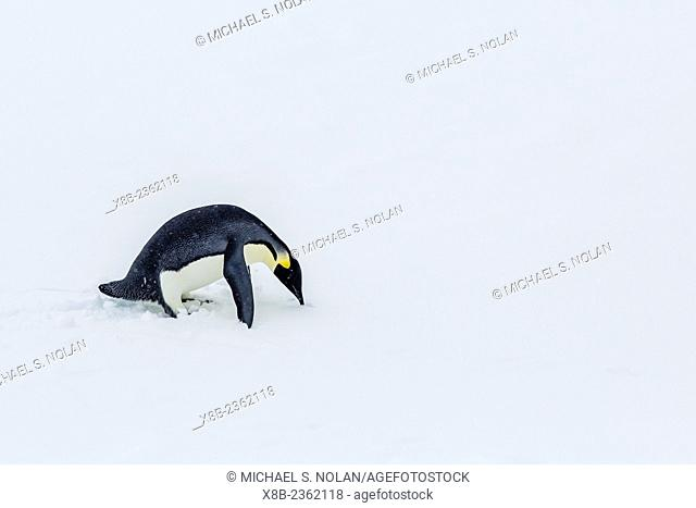 Adult emperor penguin, Aptenodytes forsteri, on sea ice in Crystal Sound, below the Antarctic Circle, Antarctica, Southern Ocean