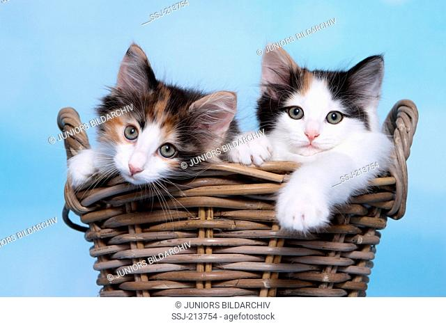 Norwegian Forest Cat. Two kittens sitting in a basket. Studio picture against a blue background. Germany