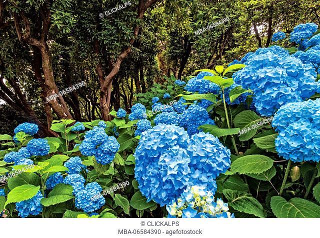 blooming, Hydrangea, rhododendron arboreum, Villa Carlotta, botanic garden, Tremezzina, Como Lake, Lombardy, Italy