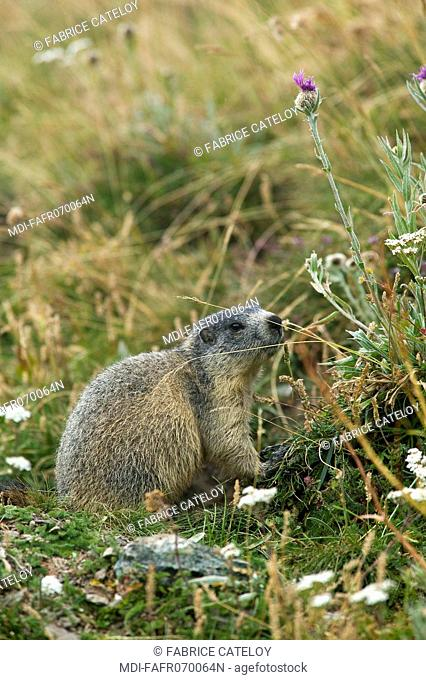 Young marmot in the natural regional park of Queyras