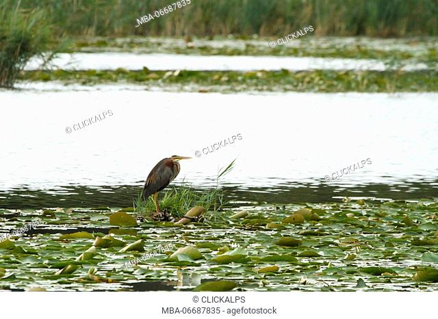 Sebino Natural Reserve, Lombardy, Italy. Purple heron