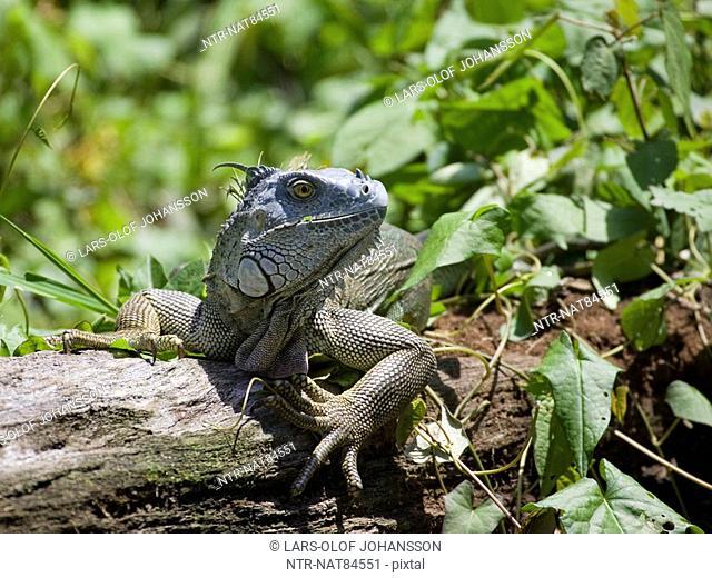 Iguana on a lying tree trunk, Costa Rica