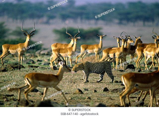 Leopard and Impalas Masai Mara Game Reserve Kenya