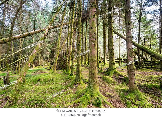 forest near Kilchurn Castle, Loch Awe, Argyll and Bute, Scotland, uk