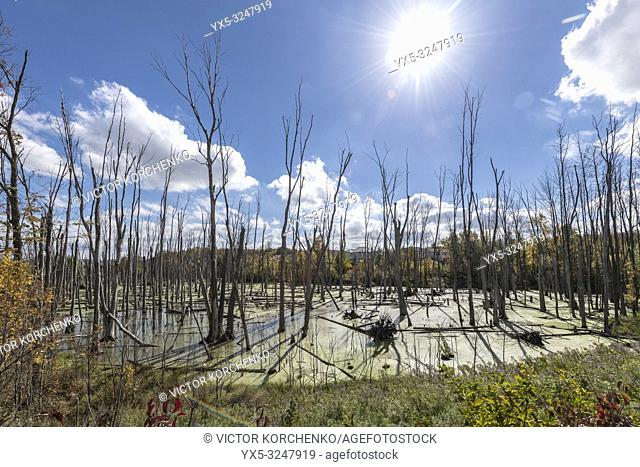 Dry dead trees in a swamp in residential area in Cambridge, Ontario