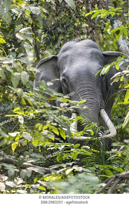 India, State of Assam, Kaziranga National Park, Asian Elephant (Elephas maximus), wild in the forest, Wildlife