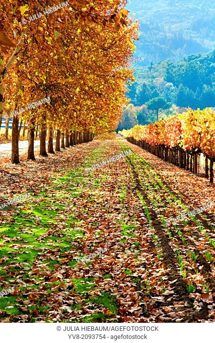 Autumn colors in Napa Valley, California
