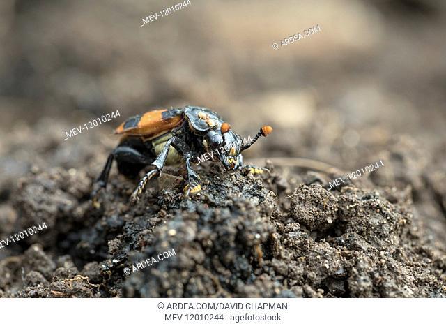 Sexton Beetle - With Mites - Cornwall - UK