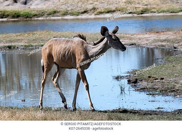 Kudu (Tragelaphus strepsiceros), Savuti, Chobe National Park, Botswana