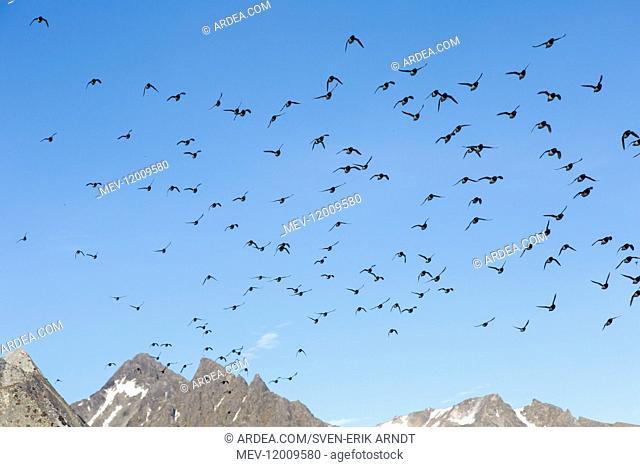 Little Auk / Dovekie - flock in flight - Svalbard, Norway
