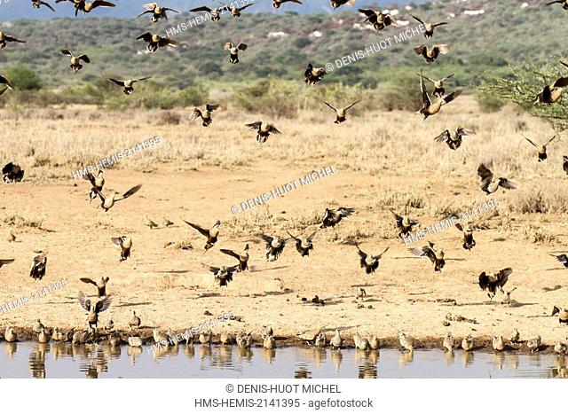 Kenya, lake Magadi, chestnut bellied sandgrouse (Pterocles exustus), at a water point