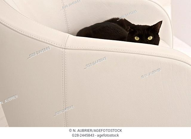 Black european cat with yellow wide open eyes Half hidden in a white armchair watching intensely