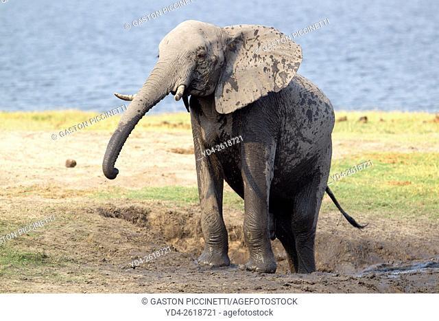 African Elephant (Loxodonta africana), Chobe National Park, Botswana