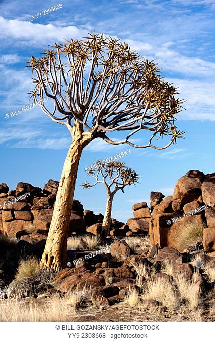 Quiver Tree (Aloe dichotoma) in the Giant's Playground - Keetmanshoop, Namibia, Africa