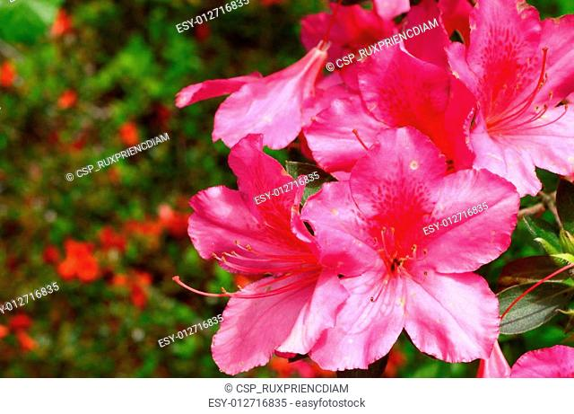 A group of young new spring pink azalias outside using a shallow depth of field and selective focus with room for your text