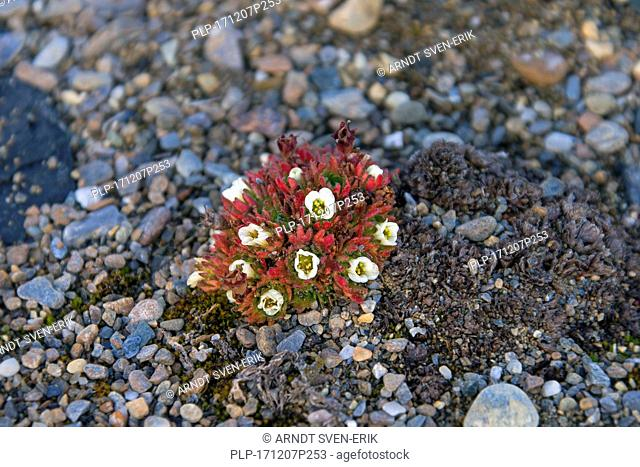 Tufted alpine saxifrage / tufted saxifrage (Saxifraga cespitosa) in flower on the Arctic tundra
