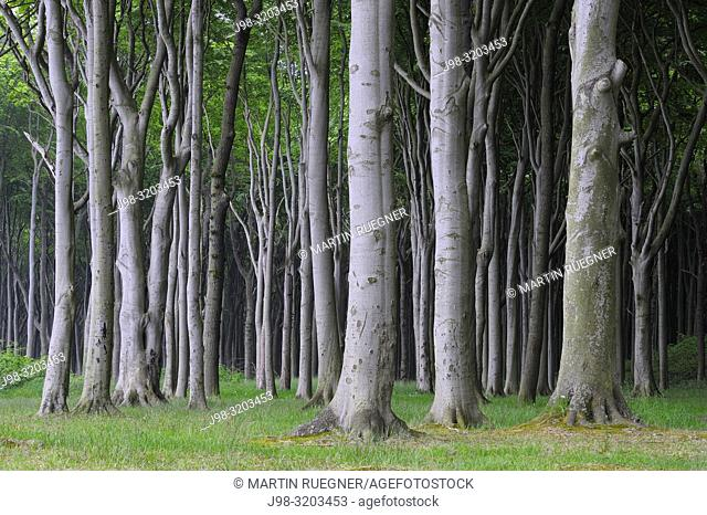 Beech tree (Fagus sylvatica) forest. Mecklenburg Vorpommern, Mecklenburg-Western Pomerania, Germany