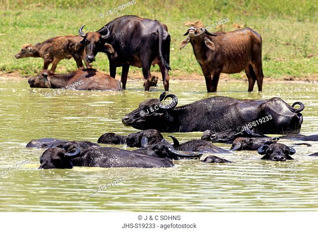 Water Buffalo, (Bubalis bubalis), group bathing in water, Udawalawe Nationalpark, Sri Lanka, Asia