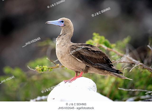 Red Footed Booby,Sula sula,Galapagos Islands,Ecuador,adult,on rock
