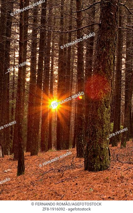 Sunset through pinewoods at Lousã Mountain, Portugal