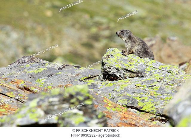 1, Alp, Alps, groundhog, Alpine fauna, Alpine groundhog, Alpine, animal world, alpine Marmot, mountain, mountains, fauna, cliff, rock, young, Marmota