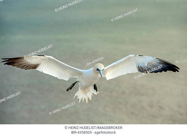 Northern Gannet (Morus bassanus) in flight, Heligoland, Schleswig-Holstein, Germany