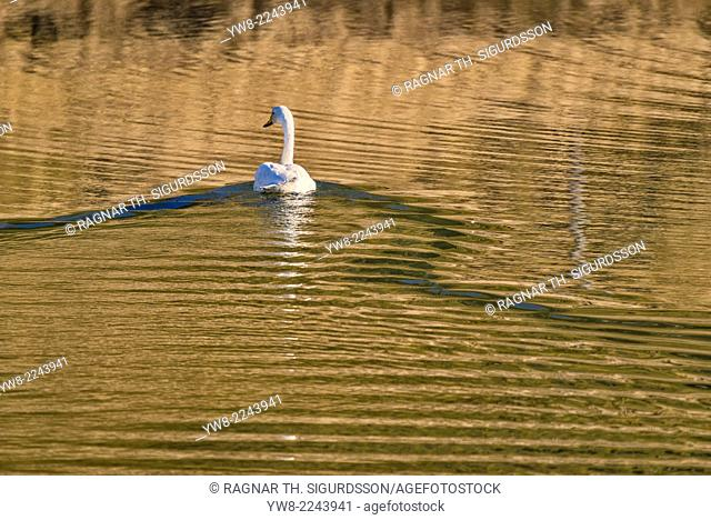Swan in the water by Hvalsnes in the Loni Valley, Eastern Iceland