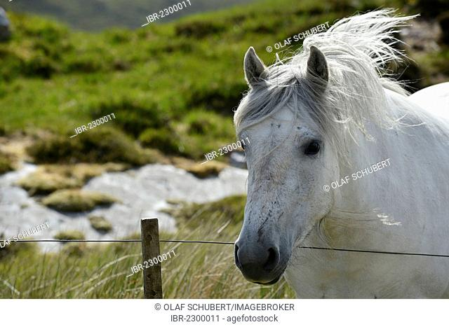 White horse with flowing mane, Sutherland, Scottish Highlands, Scotland, United Kingdom, Europe