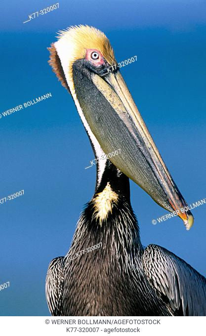 Brown Pelican (Pelecanus occidentalis californicus). Sanibel Island. Florida. USA