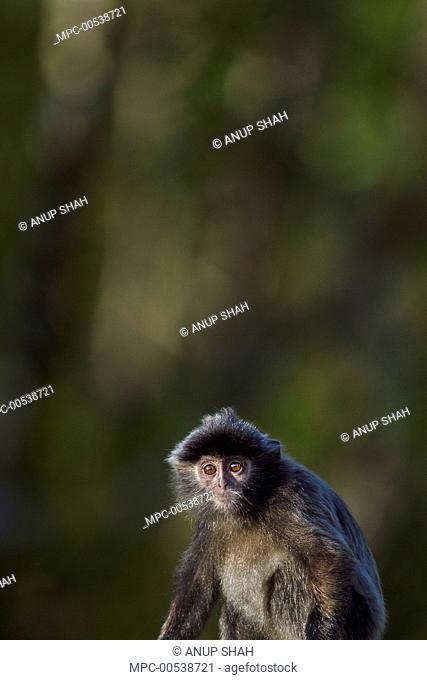 Silvered Leaf Monkey (Trachypithecus cristatus) juvenile, Bako National Park, Sarawak, Borneo, Malaysia