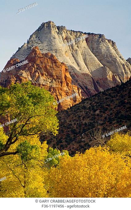 Cottonwood trees in fall below peaks in Zion Canyon, Zion National Park, Utah