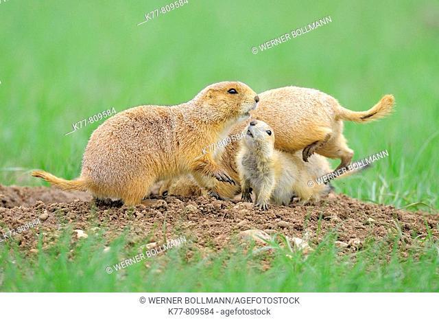 Black-tailed Prairie Dog (Cynomys ludovicianus), Family at the den. Windcave N.P., South Dakota, USA