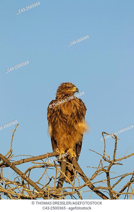 Tawny Eagle (Aquila rapax) - Perching in the early morning. Etosha National Park, Namibia