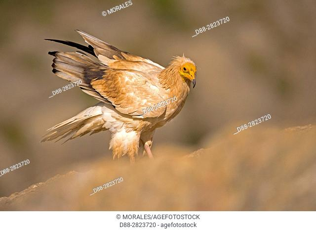Spain, Catalonia, Province of Lleida, Egyptian vulture (Neophron percnopterus), on the ground, on a rock