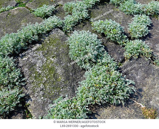 Sea wormwood, Artemisia maritima on the bank reinforcement, Hallig Langeneß, Wadden Sea, North Sea, Germany, Europe