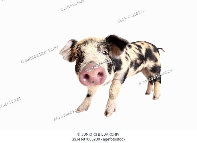 Domestic Pig, Turopolje x ?. Piglet (4 weeks old) standing. Studio picture seen against a white background. Germany