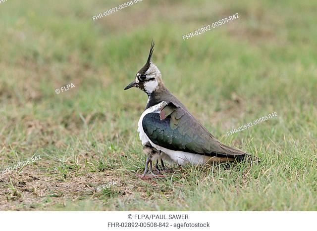 Northern Lapwing (Vanellus vanellus) adult female, sheltering two chicks under body, on grazing marsh, Suffolk, England, May