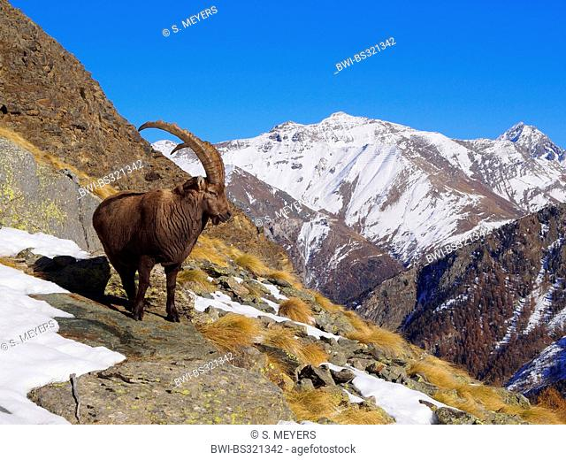alpine ibex (Capra ibex), goat standing on slope in the Graian Alps, Italy, Gran Paradiso National Park, Vanontey
