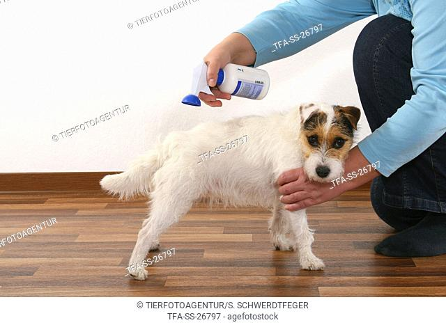 Parson Russell Terrier gets spray against fleas