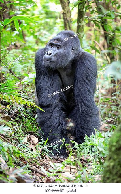 Mountain gorilla (Gorilla beringei beringei), Silverback, Bwindi Impenetrable National Park, Uganda