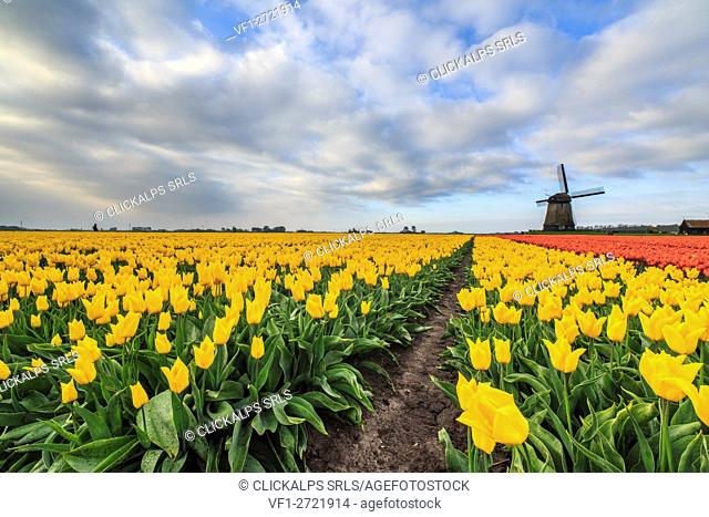 Spring clouds on fields of multicolored tulips and windmill Berkmeer Koggenland North Holland Netherlands Europe