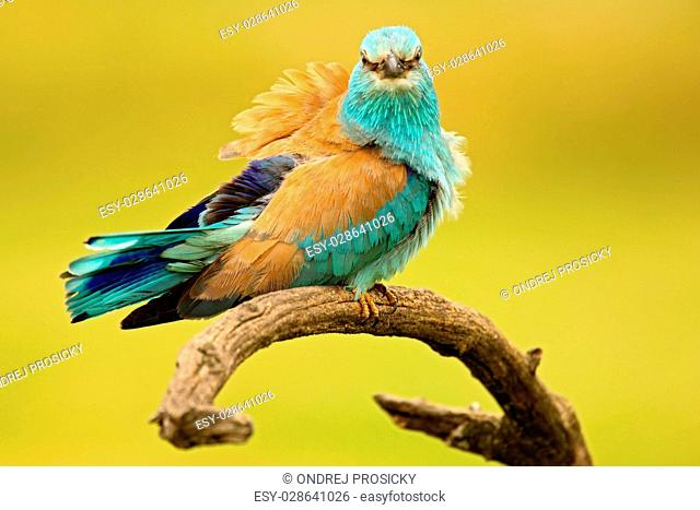 Nice colour light blue bird European Roller sitting on the branch
