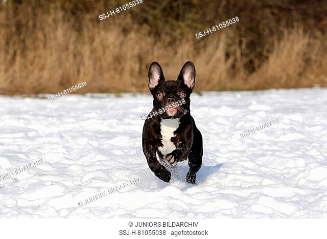 French Bulldog. Adult male running on snow. Germany