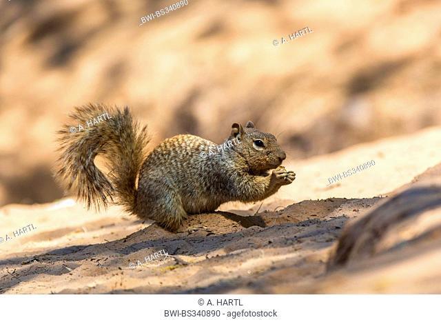rock squirrel (Citellus variegatus, Spermophilus variegatus ), sitting on sandy river shore feeding, USA, Arizona, Sonoran, Phoenix