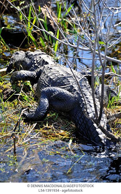 Alligators Anhinga Trail Everglades National Park FL US Wildlife Eco System Nature