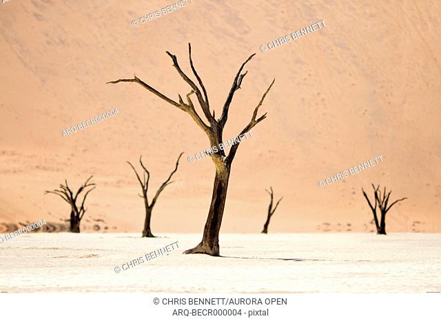 The trees of the Deadvlei bake in the midday sun, Namib Desert, Namibia