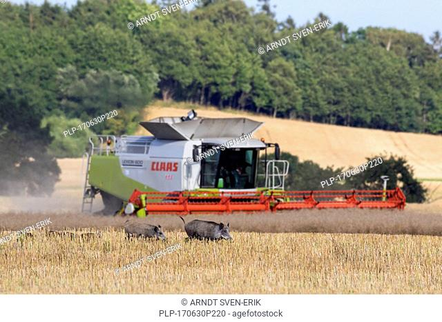 Combine harvester and sounder of wild boars (Sus scrofa) with young fleeing through stubble field in summer